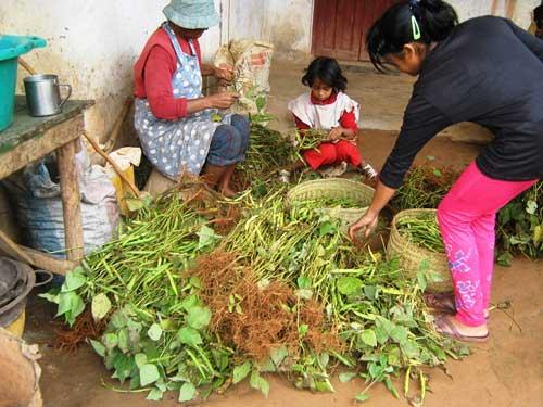 Récolte de soja dans la ferme du Centre Akany Aina d'Ambatolampy à Madagascar