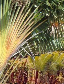Le ravinala ou arbre du voyageur à Madagascar
