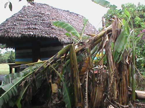 Dégâts causés dans les bananeraies par le cyclone Irina sur Ambodirafia à Madagascar