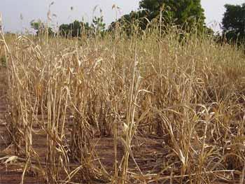 Pluvométrie très insuffisante en 2004 au Sahel, cultures grillées à Guiè, Burkina Faso