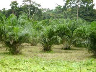 Une des palmeraies du FONDAF Bipindi au Cameroun