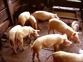 Porcherie et élevage de porcs en milieu Pygmée au Cameroun