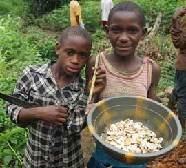 Seau d'amandes des mangues récoltées par les jeunes Pygmées Bagyeli au Cameroun