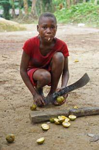 Les Pygmées Bagyeli fendent les mangues pour récupérer l'amande