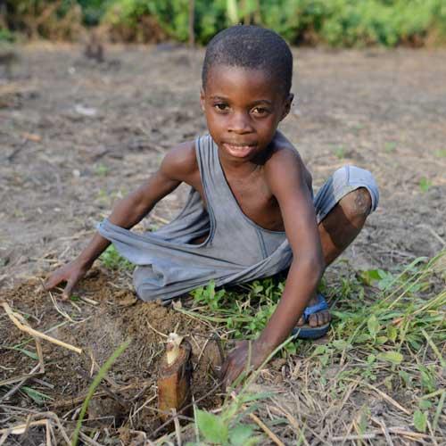 Rejet de babanier planté par un enfant Pygmée de Bipindi au Cameroun