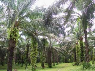 Palmeraie du Fondaf Bipindi au Cameroun