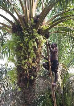 Cueillette des noix de palme au Cameroun