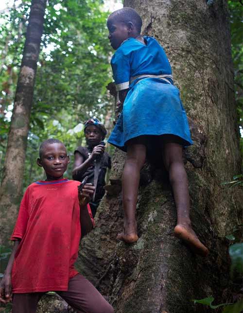 Cueillette de la gomme sur les arbres par les enfants Pygmées Bagyeli à Bipindi
