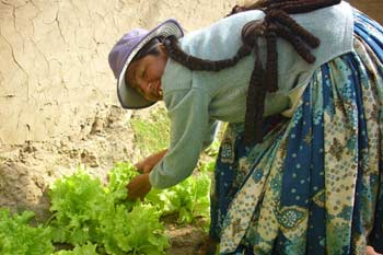 Femme bolivienne cultivant des salades sous serre solaire