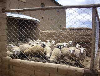 Les moutons dans le patio de leur bergerie