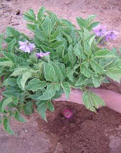 Culture de pommes de terre en Bolivie