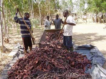 Gousses de Cassia comme nourriture sèche pour les animaux Guiè, Burkina Faso