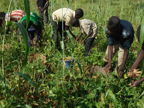 Les élèves de Namassa plantent des haricots pour payer leur soutien scolaire au Burkina Faso