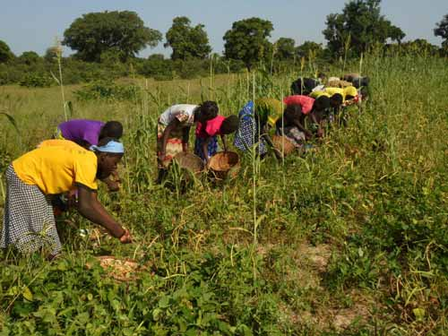 Les élèves de Namassa au Burkina Faso récoltent des haricots pour payer leurs cours