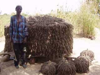 Un paysan et sa récolte de sorgho, Guiè, Burkina Faso