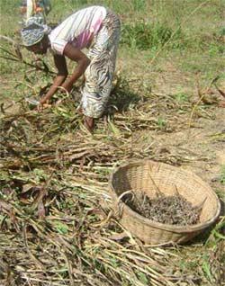 Récolte du sorgho, Ferme Pilote de Goèma, Burkina Faso