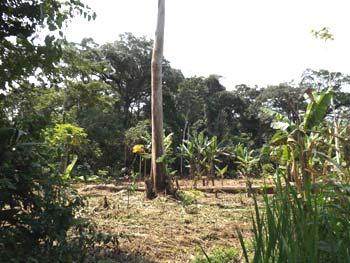 Champ défriché dans la brousse par un paysan, Village de Kabweke, Nord Kivu en RD Congo