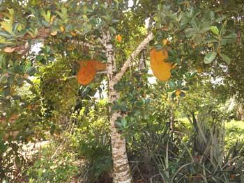 Culture du cacao, plantation de cacaoyers en brousse dans le village de Kabweke, Nord Kivu en RD Congo