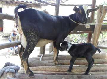 Le petit élevage d'un orphelin du sida au Rwanda, une chèvre et son chevreau.