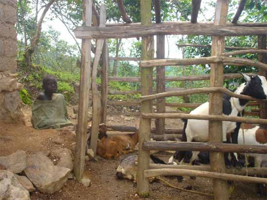 Une étable pour les chèvres d'une famille d'orphelin du sida au Rwanda