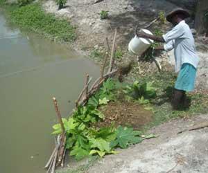 Paille et d�bris v�g�taux sont vers�s en association avec les d�chets organiques pour fertiliser les bassins d'�levage