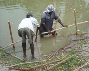 Enclos � compost pour bassin d'�levage de tilapias