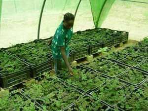 Ombrière pour les jeunes plants de la pépinière