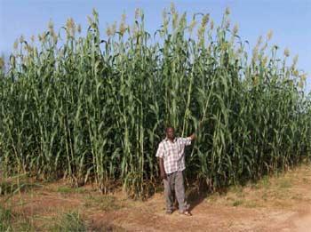 Une belle récolte de sorgho en vue pour les champs d'essai