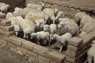 Essai d'installation des moutons dans le patio de leur bergerie