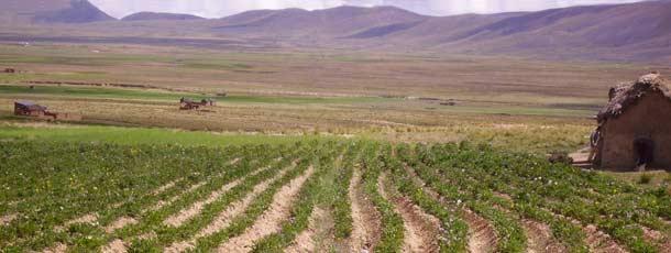 Plantation de pommes de terre sur l'Altiplano bolivien