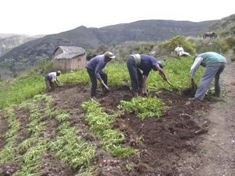 Semailles de pommes de terre sur l'Altiplano bolivien