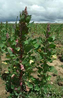 Plantation de quinoa en Bolivie