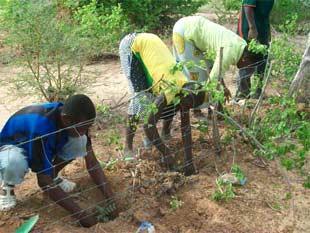 Remplacement des arbustes dans les haies mixtes, Guiè, Burkina Faso