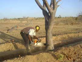 Abattage d'un arbre, Ferme Pilote de Goéma, Burkina Faso