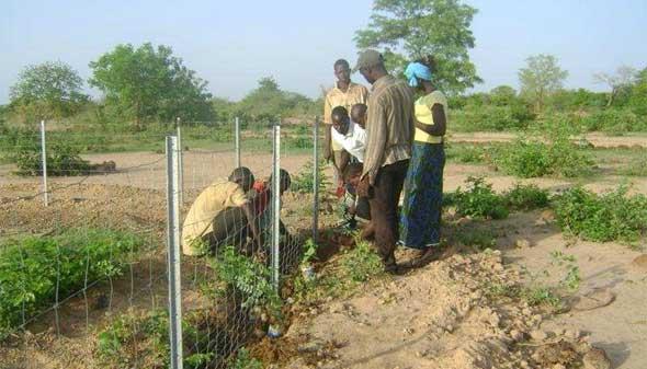 Plantation de la haie vive pour la clôture du périmètre Neerwaya, Ferme Pilote de Goèma, Burkina Faso