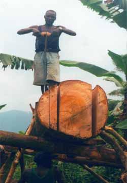 Sciage d'un arbre au Congo