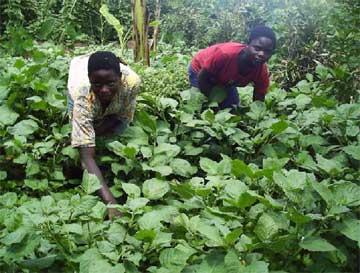 Jardins potagers pour les orphelins du sida : culture des aubergines