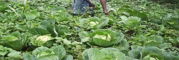 Jardins potagers pour les orphelins du sida : culture des choux