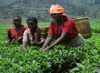 Cueillette du thé dans le cadre du VUP au Rwanda