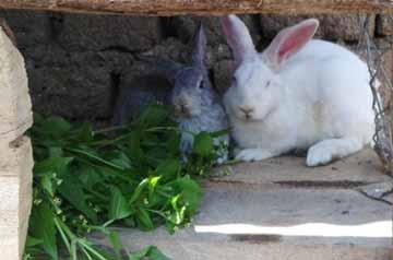 Les deux lapins d'un orphelin du sida.