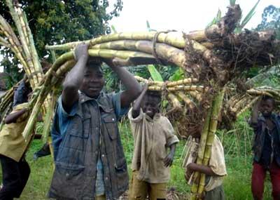 Transport des cannes à sucre par des orphelins au Rwanda
