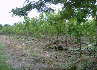 Plantation de jeunes tecks pour le reboisement au Togo